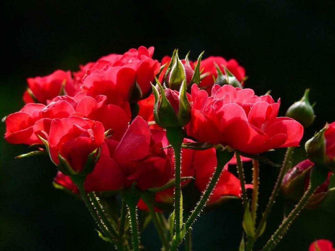 trandafirii plantati